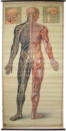 Serie - I. Der Menschliche Körper