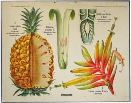 Serie - A. Peter, Botanische Wandtafeln