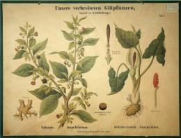 Serie - Unsere verbreiteten Giftpflanzen
