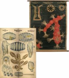 Serie - Dr. R. Leuckarts und Dr. Nitsche Zoologische Wandtafeln
