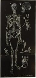 Serie - Jung-Koch-Quentell'schen, Neuen Wandtafeln - Anatomie