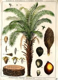 Serie - Ausl�ndische Kulturpflanzen in farbigen Wandtafeln [Eerste uitgave, III, Wit]