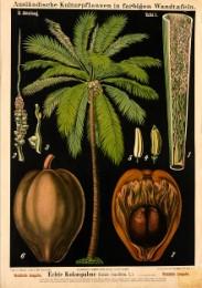 Serie - Ausl�ndische Kulturpflanzen in farbigen Wandtafeln [Wohlfeile Ausgabe, I&II]