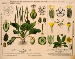 Serie - Repr�sentanten einheimischer Pflanzenfamilien in farbigen Wandtafeln [I&II, Wit]