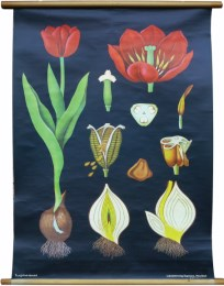 Serie - Jung-Koch-Quentell, Neue Botanische Wandtafeln