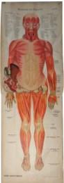 Serie - Schreibers anatomische Wandtafeln