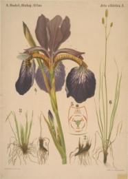 Serie - Dodel-Port Atlas [Iris Sibirica]