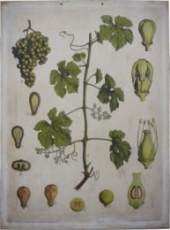Serie - Engleder's wandplaten. Afdeeling Plantkunde