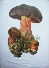 Serie - Cramers biologische wandplaten - Serie 5. Paddenstoelen I (Eetbare soorten)