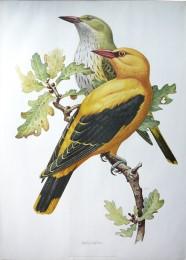 Serie - Cramers biologische wandplaten - Serie 7. Zangvogels II (Trekvogels)