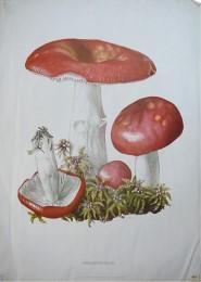 Serie - Cramers naturkundliche Anschauungstafeln - Serie 8. Pilze II (Ungeniessbare u. giftige Arten)