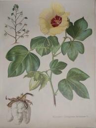 Serie - Cramers naturkundliche Anschauungstafeln - Serie 12. Nutzpflanzen II (subtrop. und trop.)