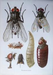 Serie - Cramers biologische wandplaten - Serie 13. Insekten I