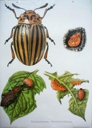 Serie - Cramers biologische wandplaten - Serie 14. Insekten II (schadelijke)