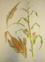 Serie - Cramers naturkundliche Anschauungstafeln - Serie 19. Gr�ser und Getreide