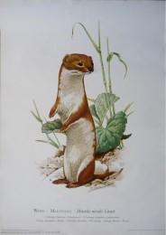 Serie - Cramers biologische wandplaten - Serie 21. Kleine zoogdieren