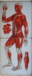 Serie - Anatomische Wandtafeln