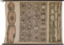 Serie - Schmeils botanische Wandtafeln, Anatomische Reihe