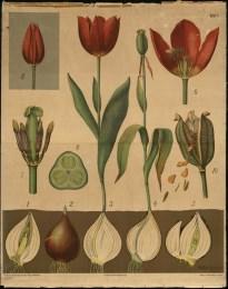 Serie - Schmeils botanische Wandtafeln