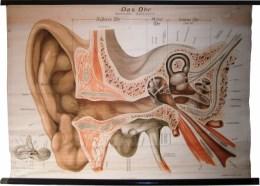 Serie - Zschommlers Anatomische Wandtafeln