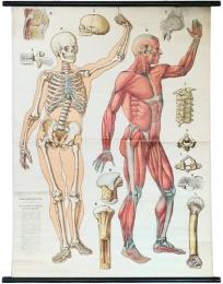 Serie - Anatomische Wandtafeln (Dr. Bauer, E. Fischer)