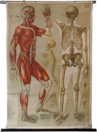 Serie - Eschners Anatomische Wandtafeln