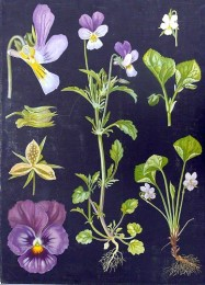Serie - Kasvi kuvatauluja