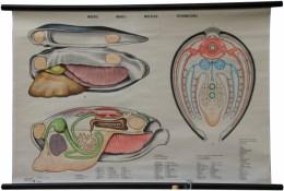 Serie - Anatomie van de ongewervelde dieren