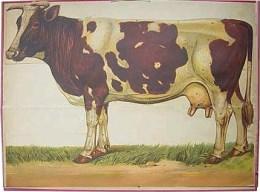 Serie - [De koe - Losbladig]