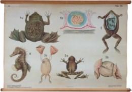 Serie - Prof. Dr. K. Smalian Histologische embryologische Tafeln