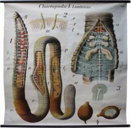 Serie - Dr. Paul Pfurtscheller Zoologische Wandtafeln