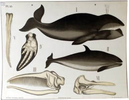 Serie - Dybdahls Zoologiske plancher