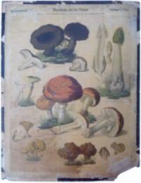 Serie - Wandbilder f�r die Schule - Zur Naturkunde - Schw�mme
