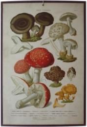 Serie - Hartingers Essbare und giftigen Schw�mme in ihren wichtigsten Formen