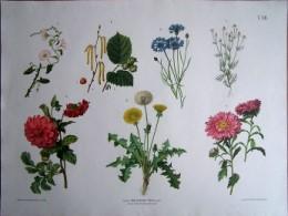 Serie - Hartingers Wandtafeln f�r den naturgeschichtlichen Anschauungsunterricht, Abteilung II: Botanik