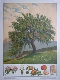 Serie - Hartingers Wandtafeln f�r den naturgeschichtlichen Anschauungsunterricht, Abteilung III: B�ume