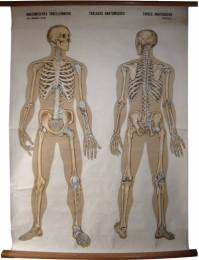Serie - Anatomisches Tabellenwerk