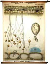 Serie - Biologische wandplaten. I. Serie Botanie