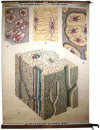 Serie - Biologische wandplaten. II. Serie. Menselijk lichaam