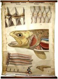 Serie - Biologische wandplaten. III. Serie. Zoologie