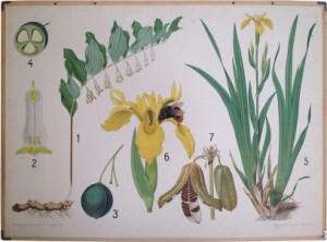 Oude Botanische Prenten : Verzameling in beeld serie botanische wandplaten