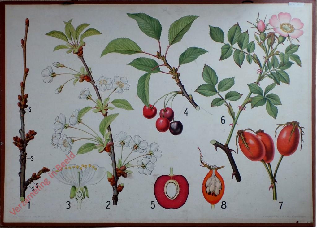 Oude Botanische Prenten : Verzameling in beeld serie botanische tafeln