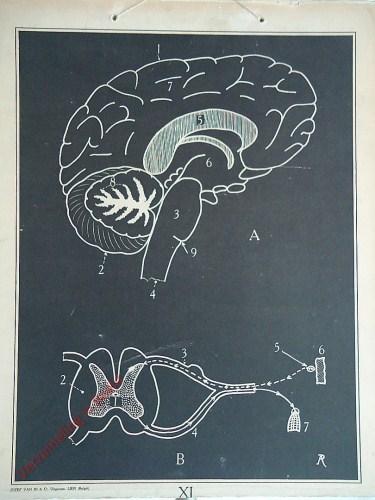 [Hersenen]