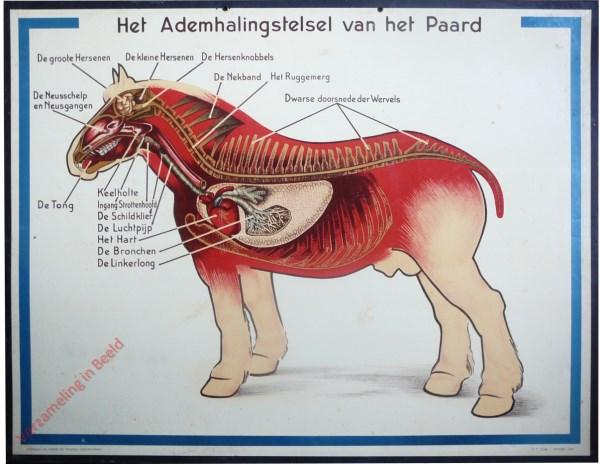 Het Ademhalingsstelsel van het Paard