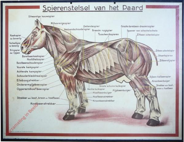 Spierenstelsel van het Paard