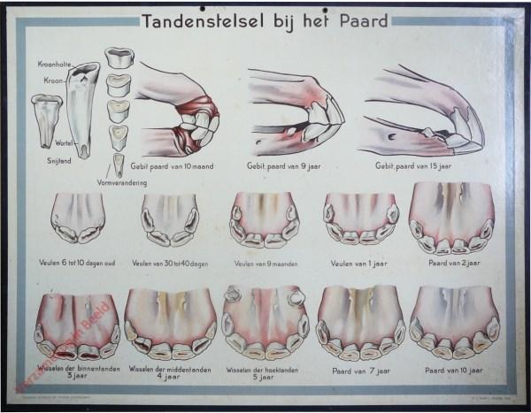 Tandenstelsel bij het Paard