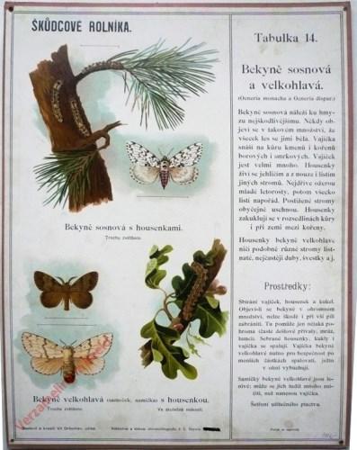 14 - Bekyne sosnova a velkohlava