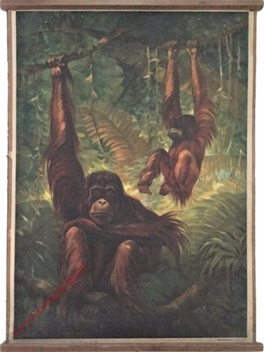 23 - Orangutan