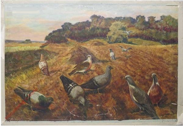 26 - Divocí holubi