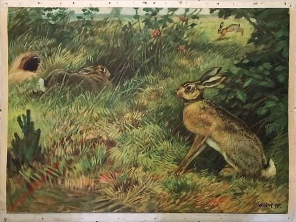 28 - Zajíc polní